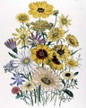 Daisies plate 31 from The Ladies Flower Garden - Jane Loudon