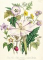 Devils Trumpet plate 46 from The Ladies Flower Garden - Jane Loudon