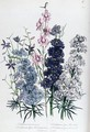 Delphiniums plate 3 from The Ladies Flower Garden - Jane Loudon