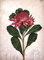 Waratah telopea speciosissima 1803-08 - John William Lewin