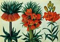 Crown Imperial Lily - Alexander Marshal