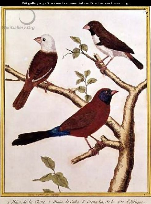 White-headed Munia Double Coloured Seed Eater and Violet Eared Waxbill - Francois Nicolas Martinet