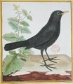 Male French blackbird from Histoire Naturelle des Oiseaux by Georges du Buffon 1707-88 - Francois Nicolas Martinet