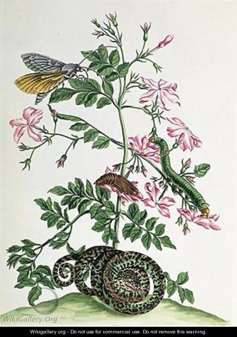 Jasmine with snake moth caterpiller and chrysalis plate 46 from Over de Voorteeling 1730 - Maria Sibylla Merian