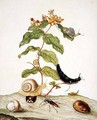 Hypericum Baxiforum with snails and a beetle 1695 - Maria Sibylla Merian