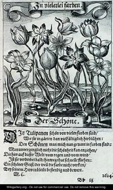 Tulips from a book on botany 1646 - Matthaus, the Younger Merian