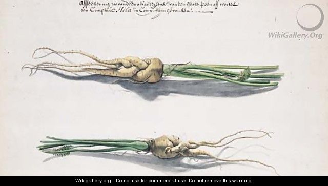 Two Studies of Parsnips - Frans Withoos