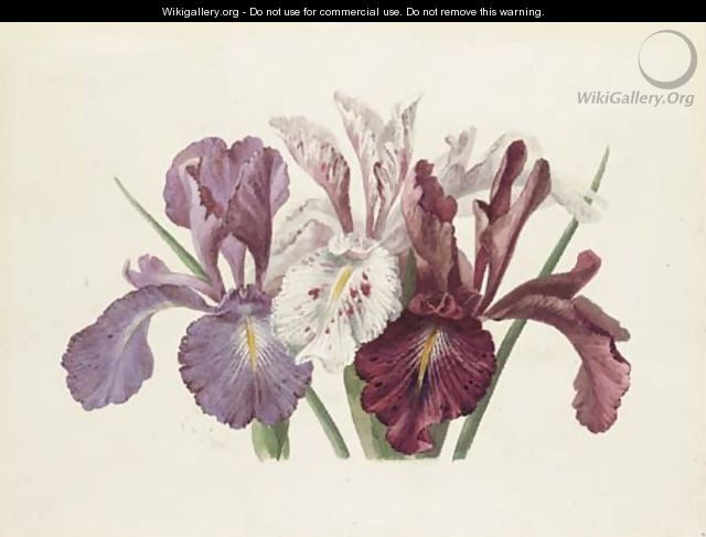 Iris xyphioides (English Iris) - Paul De Longpre