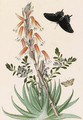 Echeveria setosa with a Swallowtail - Thomas Robins