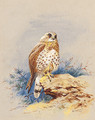 A Kestrel perched on a Rock - Archibald Thorburn