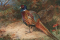 A Cock and Hen Pheasant - Archibald Thorburn