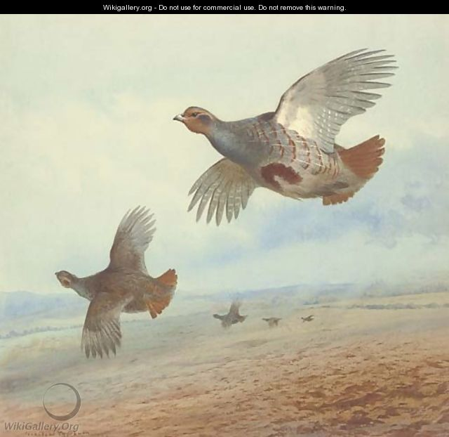 Partridge in flight - Archibald Thorburn