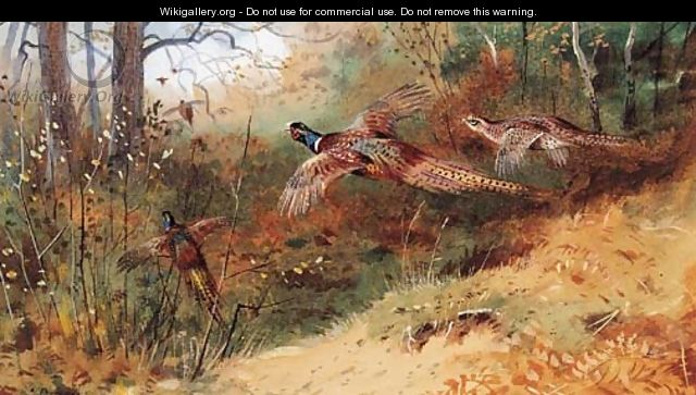 Cock Pheasants and a Hen Pheasant in flight - Archibald Thorburn