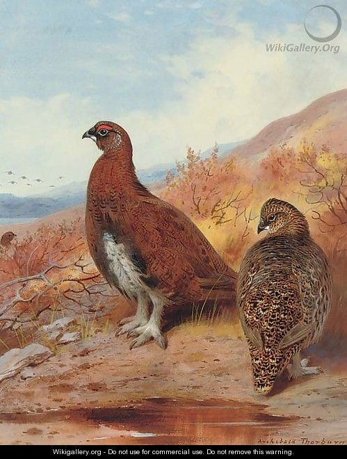 A pair of red grouse, in moorland - Archibald Thorburn
