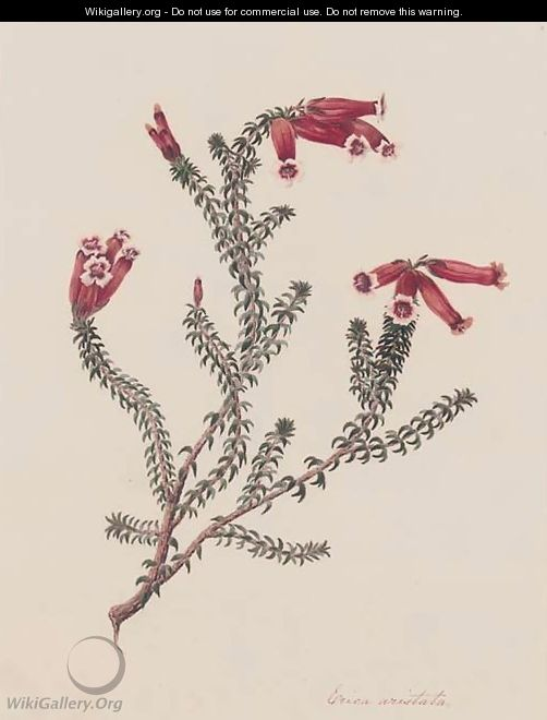 Four botanical drawings of heather Erica Artistata - (after) Matilda Floud