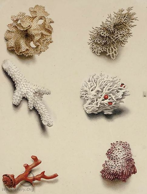 Studies of coral - English School