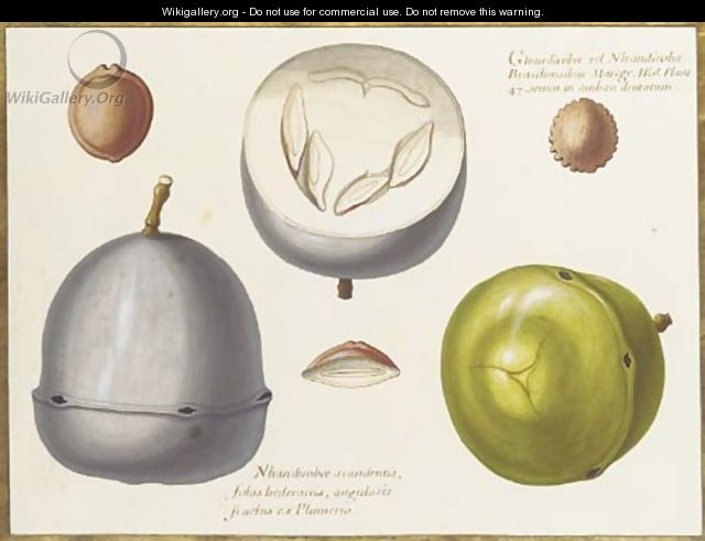 Two studies of an exotic fruit, a cross section of the same and three seeds - Claude Aubriet