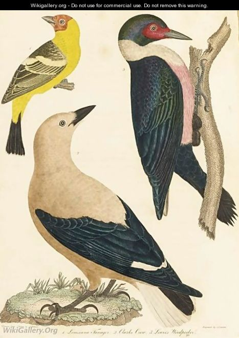 The Natural History Of The Birds Of The United States - Alexander Wilson
