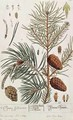 Pine Tree, from 'A Curious Herbal' - Elizabeth Blackwell