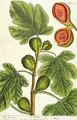The Fig Tree, plate 125 from 'A Curious Herbal' - Elizabeth Blackwell