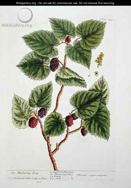 The Mulberry Tree, plate 126 from