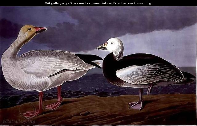 Snow Goose, from