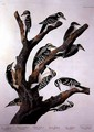 Woodpeckers, from 'Birds of America' - (after) Audubon, John James