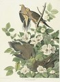Carolina Turtle Dove (Plate 17) - John James Audubon