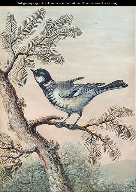 A blue tit perched on pine - Christoph Ludwig Agricola