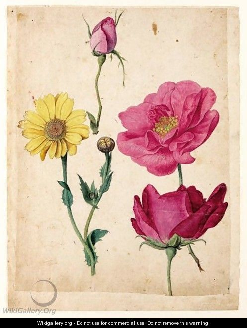 A Sheet Of Studies With French Roses And An Ox-Eye-Daisy - Jacques (de Morgues) Le Moyne