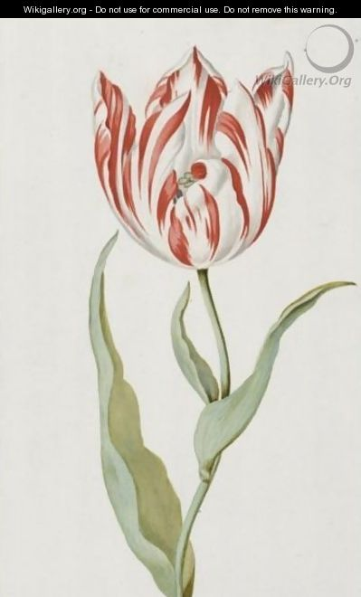 A Pair Of Red And White Tulips - Dutch School