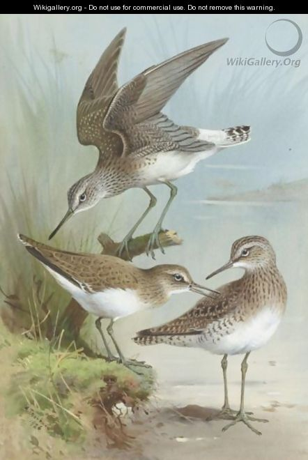 Sandpipers - Archibald Thorburn