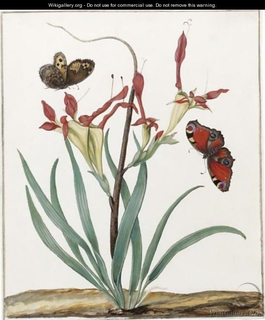 A South African Gladiolus, With Two European Butterflies - Dutch School